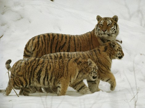 Conservation groups are hoping satellite imagery will help protect habitats of tigers, like this Siberian tiger family in Russia. Photograph by Michael Nichols, National Geographic