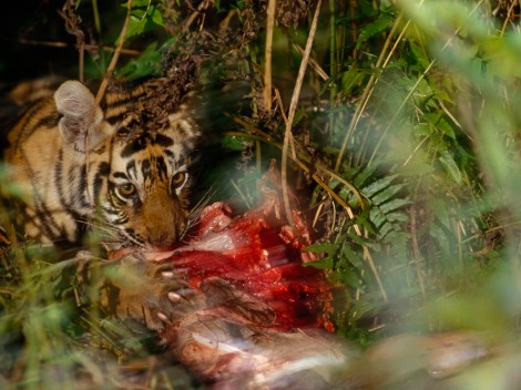 . . . the Indian jungle—this baby tiger lives in Bandhavharh National Park, India . . .  Photograph by Michael Nichols