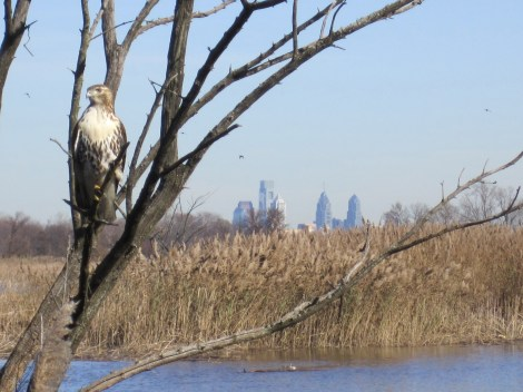 "Although urban biodiversity is much, much lower than biodiversity in undeveloped areas, ""green spaces"" have been successful in conserving habitat for indigenous species. Here, a gorgeous hawk perches at John Heinz National Wildlife Refuge at Tinicum in Philadelphia. Photograph by Derik Pinsonneault, courtesy U.S. Fish and Wildlife Service"