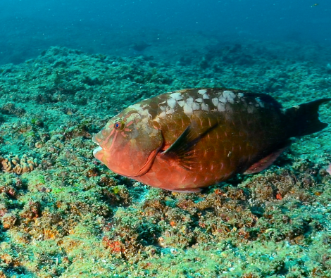 A parrotfish is seen during a dive off the coast of southern Mozambique. Photo by Dave McAloney.