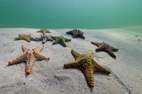 StarfishinMozambiqueCrManuSanFélix