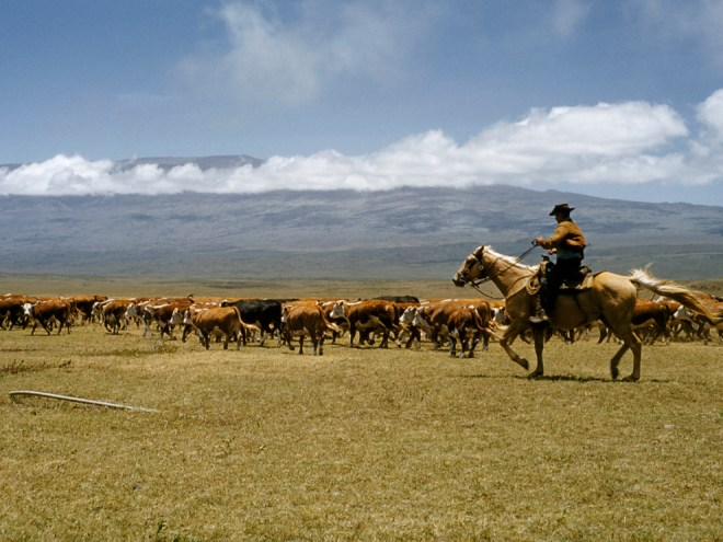 A paniolo (Hawaiian cowboy) herds cattle on a  ranch on the Big Island. Photograph by Walter Meayers Edwards, National Geographic