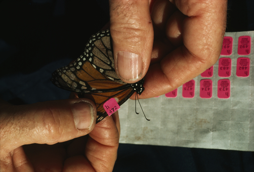 A zoologist inspects a tagged monarch butterfly. Photo by Bianca Lavies.