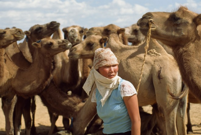 This Mongolian herder tends to an unruly herd of Bactrian camels. Photograph by James L Stanfield, National Geographic