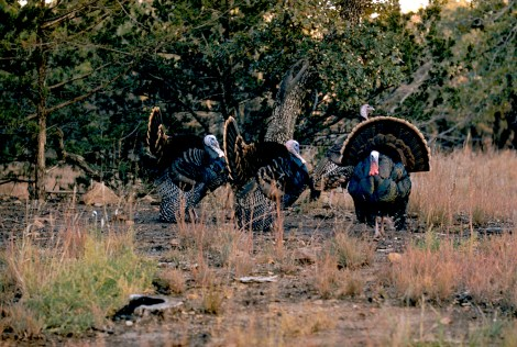 Three wild turkeys stand together in the woodland. Photograph by M. Williams Woodbridge, National Geographic