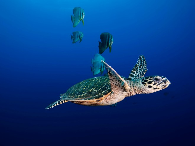Hawksbill turtles like this one, along with olive ridley sea turtles and green turtles, swim the Sundarbans. Photograph by David Doubilet, National Geographic