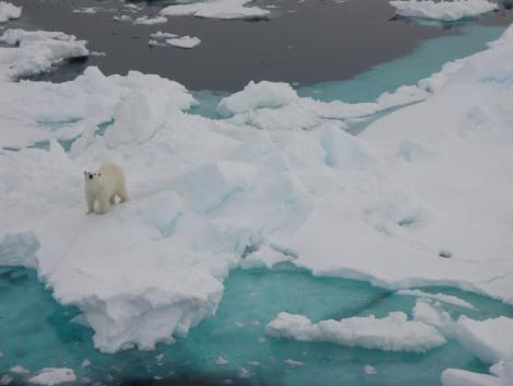 Photo of a polar bear.