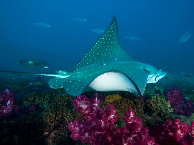 The largest specimen of manta ray (fish), like this one cruising Australia's Great Barrier Reef, reached nearly 23 feet! Photograph by David Doubilet, National Geographic