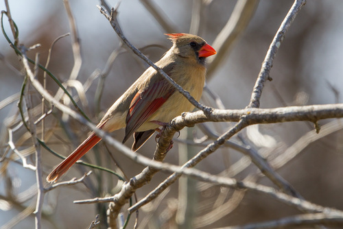 Female Northern Cardinal observed on January 28, 2015, in Texas. Photo by Greg Lasley (CC BY-NC). Submitted to the Great Nature Project.