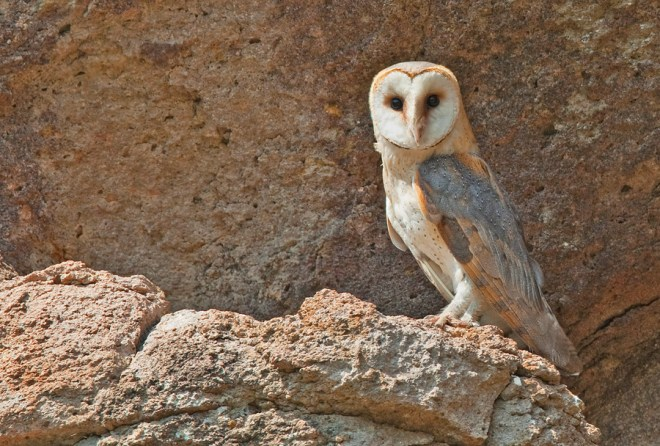 Barn owl in Greece. Photo by Paul Cools (CC BY-NC-3.0). Submitted to the Great Nature Project.