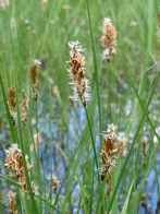 The false fox-sedge is a flowering plant that is familiar throughout northern Europe and as far east as China and central Asia. Photograph by AnRo0002, courtesy Wikimedia. Public domain.