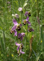 These gorgeous bee orchids grow naturally in the Aller Brook Local Nature Reserve, in the southwestern county of Devon, England. Bee orchids have a wide range, from Ireland in the west to Iran in the east. Photograph by Derek Harper, courtesy Wikimedia. CC-BY-SA-2.0