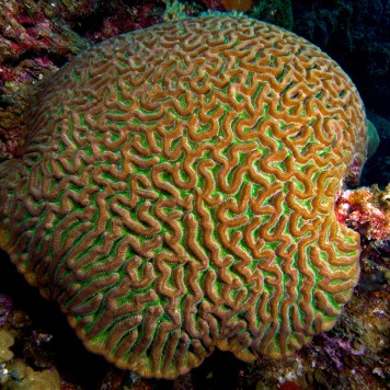 Brain corals like this one earned their name from their round shape and grooved surface—they look like an animal's brain. Photograph by Nick Hobgood, courtesy Wikimedia. CC-BY-SA-3.0