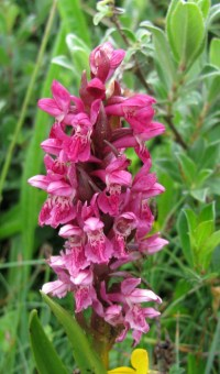 Isn't this pretty? It's an early marsh orchid, one of the more common species in Harlech, a town in northwestern Wales. Photograph by Natalie S., courtesy Wikimedia. CC-BY-SA-4.0