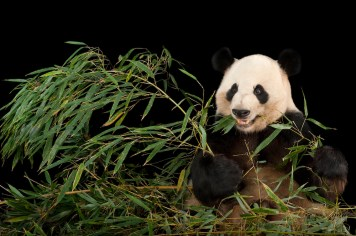 Captive breeding of pandas at zoos around the world has been phenomenally successful. This panda lives at Zoo Atlanta, Georgia. Photograph by Joel Sartore, Photo Ark, National Geographic