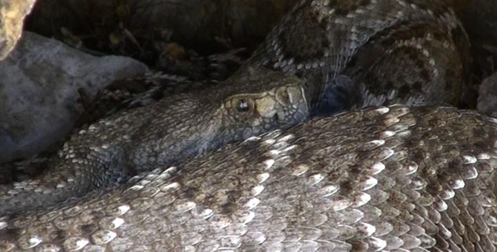 Wild-Rattlesnake