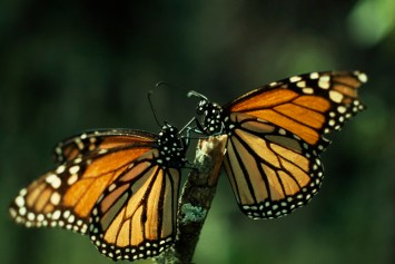 Scientists have only recently understood how monarchs' brains are able to navigate such large distances—they rely on internal and external signals communicated by the butterfly's eyes and antennae. Photograph by Bianca Lavies, National Geographic