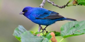 This beautiful indigo bunting is a bunting, but is it indigo? Photograph by Gareth Rasberry, courtesy Wikimedia. CC-BY-SA-3.0