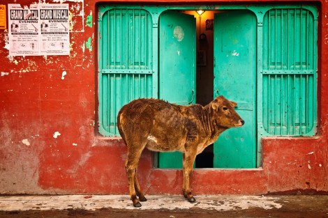 """India's cow-based capitalism is animal-friendly. """"The milk is not the main revenue you can source from the cow,"""" says on entrepreneur. """"It is urine and dung."""" Photograph by Devanath, courtesy Pixabay. Public domain"""