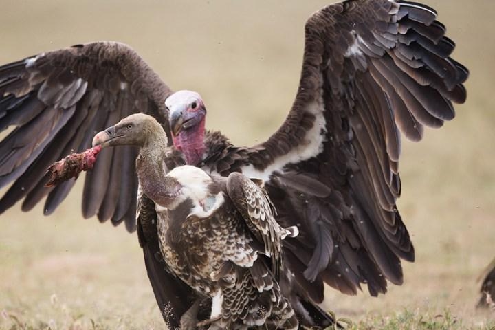 NGM Vultures MM8223