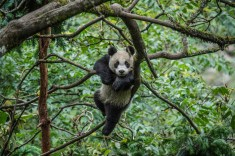 Pandas are able to climb trees, but spend most of their time on the ground. Photograph by Ami Vitale, National Geographic