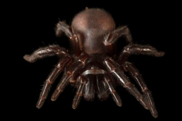 Be afraid: Behold the Sydney funnel-web spider, one of the most dangerous in the world. Photograph by Joel Sartore, National Geographic Photo Ark