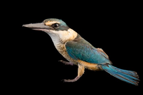 The sacred kingfisher is common throughout Australia and New Zealand. Photograph by Joel Sartore, National Geographic Photo Ark