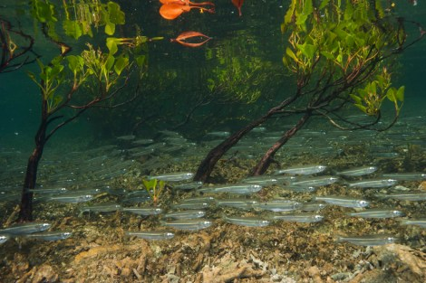 The sunlit, dappled waters of mangrove forests serve as nurseries for shrimp, oysters, crabs, and fish. We love this image because you can see the nutrient-rich detritus on the seafloor. This mangrove forest is in Australia. Photograph by David Doubilet, National Geographic