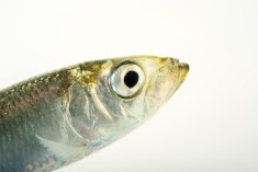Atlantic herring fart to communicate. Photograph by Joel Sartore, National Geographic Photo Ark
