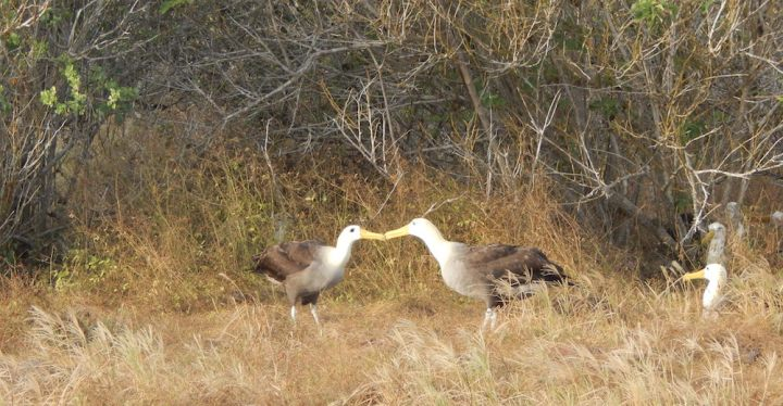 Waved Albatross Sword Dance