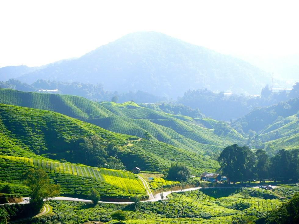 tea-plantation-261508_1280