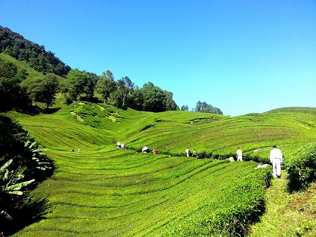 tea-plantation-261517_640