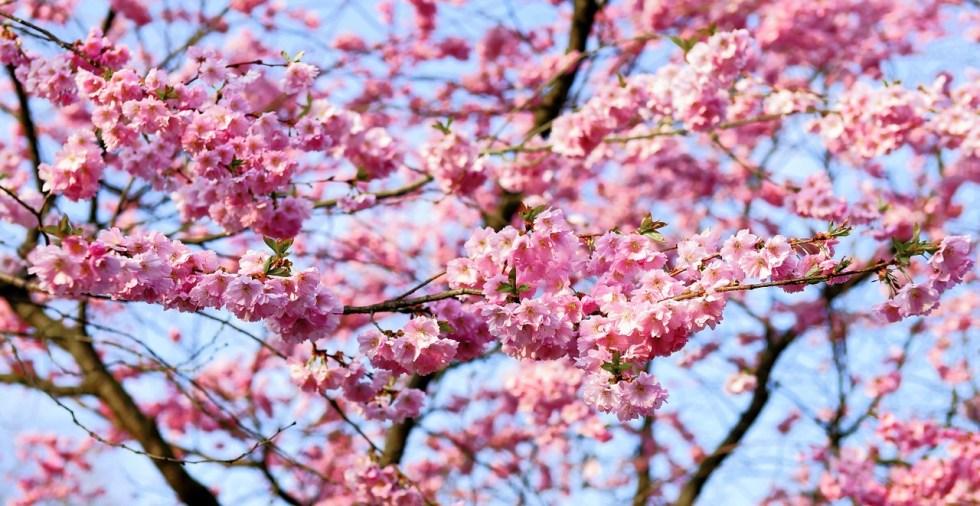 cherry-blossom-1318258_1280
