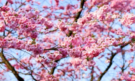 Sakura Season and Best Hanami Spots in Japan