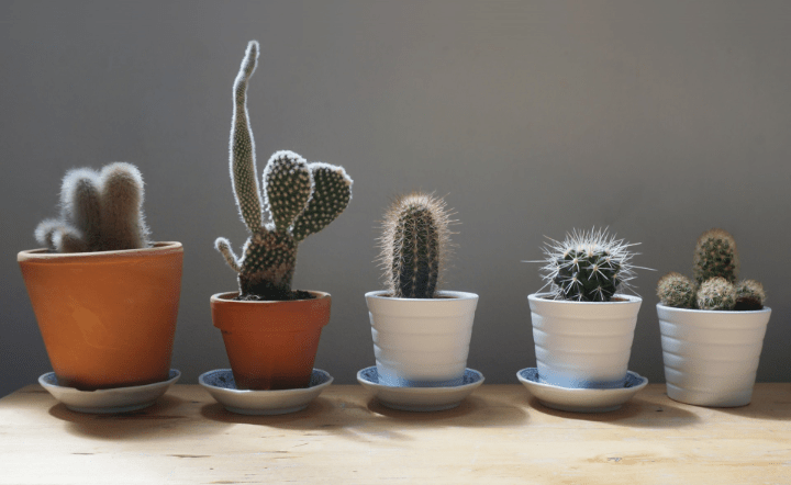 Cacti in pots on wood table with gray background