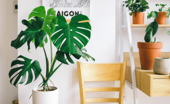 Light wood chair, swiss cheese plant in white pot, and other plants on light wood shelves