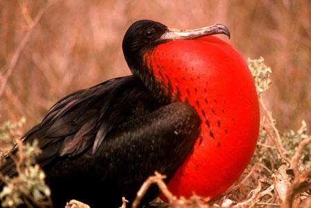4. Los machos del pájaro fragata inflan su enorme buche rojo durante 20 minutos. Una vez que conquistan a la hembra, le tapan los ojos con las alas para que ningún otro macho la distraiga.