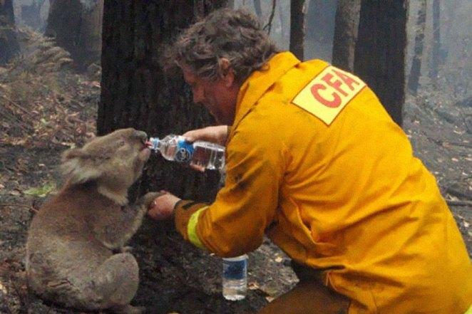 9 Un bombero le da agua a un Koala durante el devastador incendio forestal