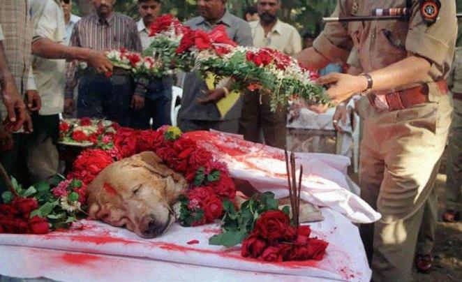 12. Zanjeer, el perro salvó miles de vidas durante las explosiones en Mumbai en marzo de 1993 por la detección de más de 3.329 kilos de RDX explosivo, 600 detonadores, 249 granadas de mano y 6.406 rondas de munición. Fue enterrado con todos los honores.