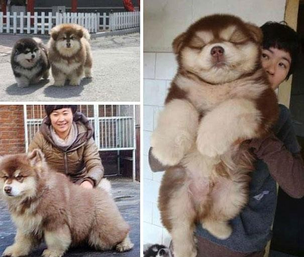 2. Chow Chow + Husky = Chusky