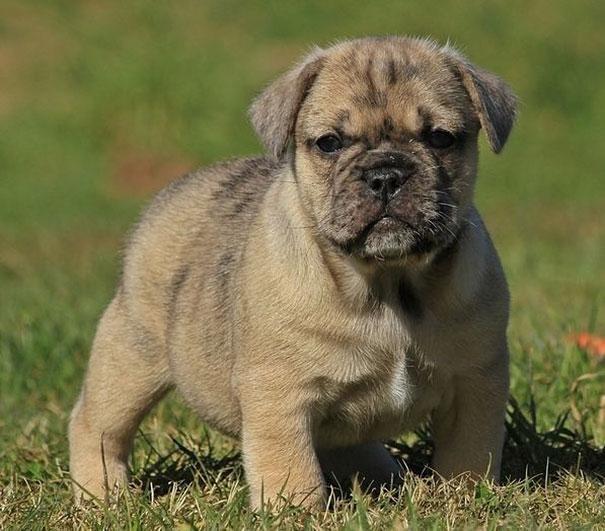 3. Pug + Bulldog Inglés = Bullpug