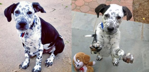 5. Dálmata + Labrador = Dalmador