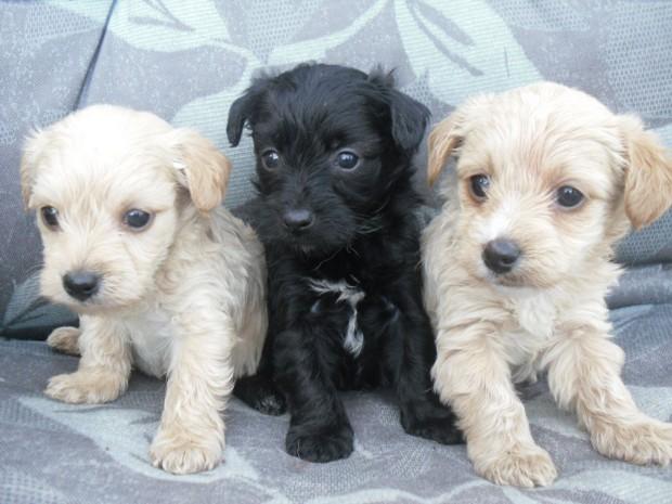 11. Yorkshire Terrier + Caniche = Caniyork