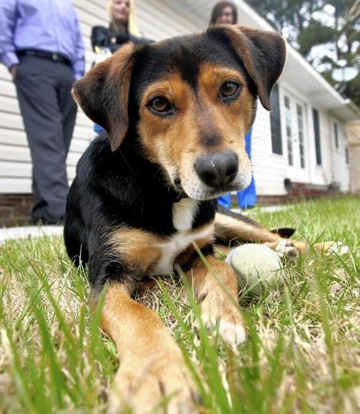 12. Beagle + Ovejero Alemán = Beagle Alemán