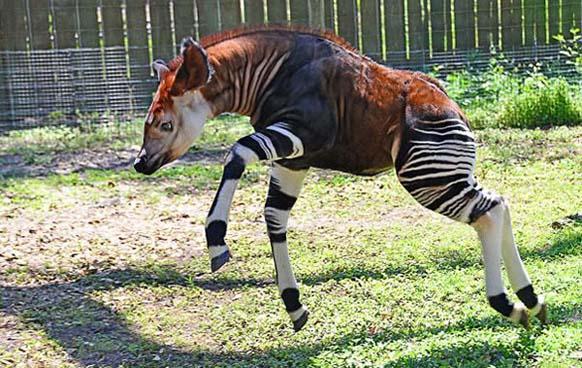 2. Okapi: es nativo de África. A pesar de verse muy parecido a una cebra, está estrechamente emparentado con las jirafas.