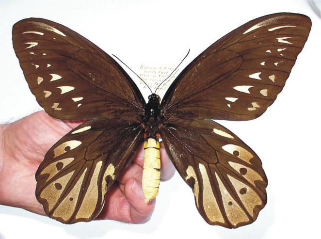 4. Mariposa alas de pájaro