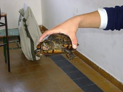 9. Sacar a pasear una tortuga sosteniéndola en la zona de la ingle