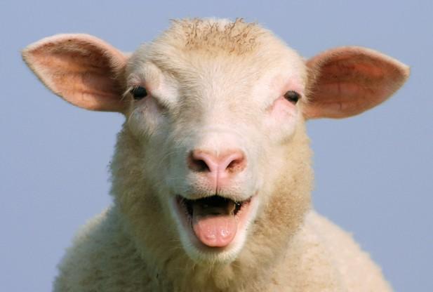 3. ¿Cuánta fuerza se necesita para arrastrar una oveja en diferentes superficies?