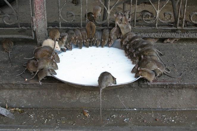 Resultado de imagen para karni mata rat temple