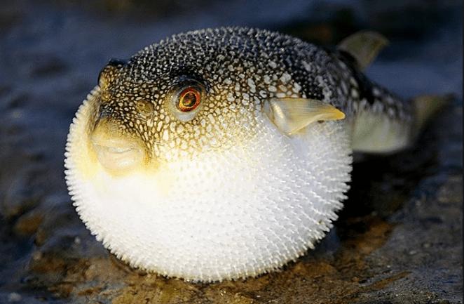 Resultado de imagen para fugu